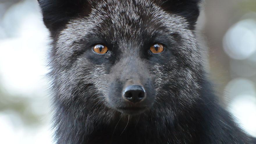 black-silver-fox-34__880