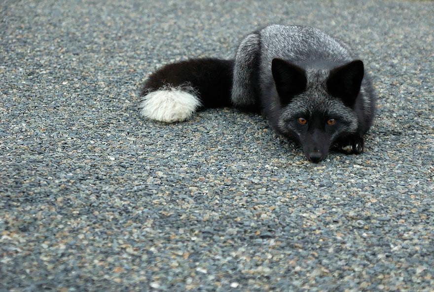 black-silver-fox-36__880