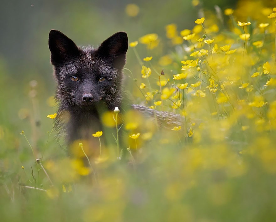black-silver-fox-37__880