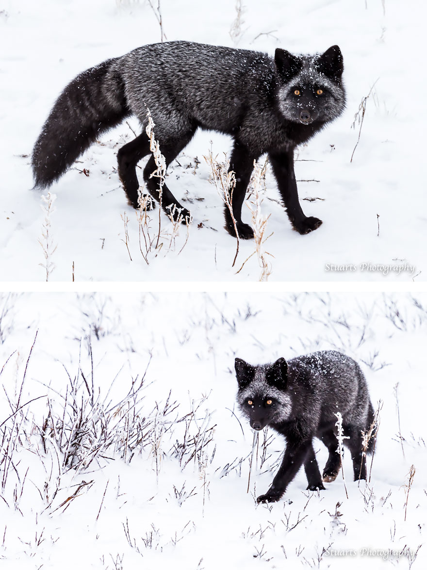 black-silver-fox-3__880