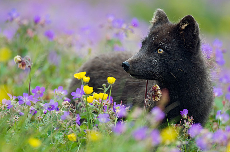 black-silver-fox-421__880