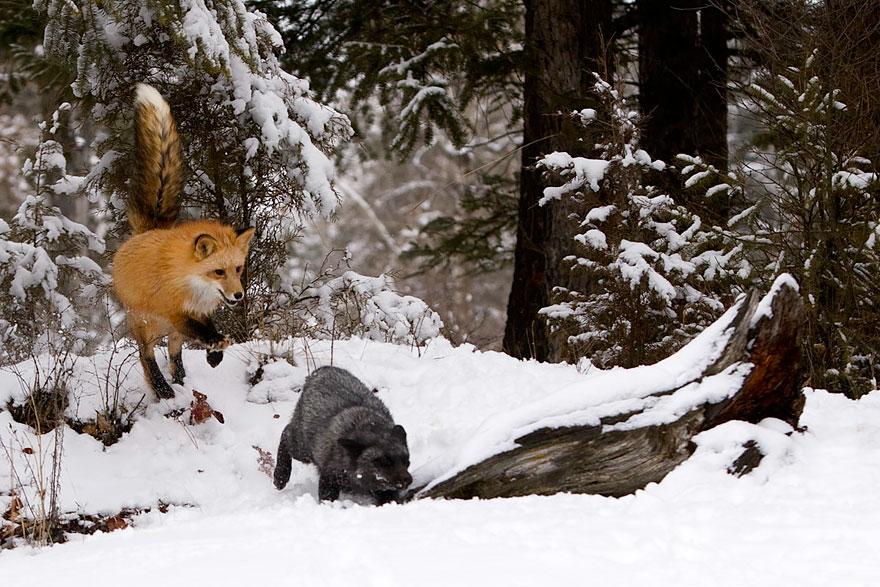 black-silver-fox-6__880