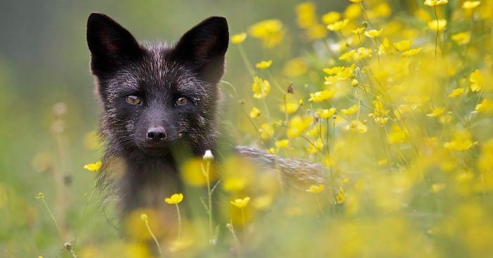 black-silver-fox