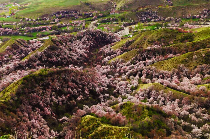 blooming-apricot-valley-yili-china (10)