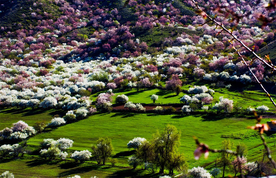 blooming-apricot-valley-yili-china (14)