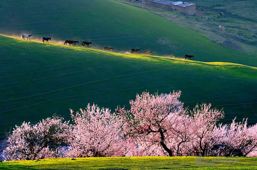 blooming-apricot-valley-yili-china (2)