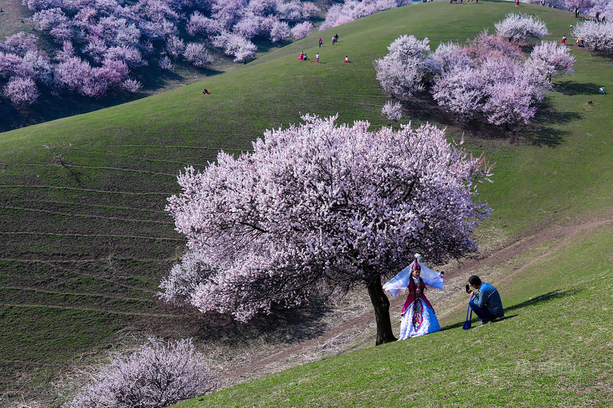 blooming-apricot-valley-yili-china (3)