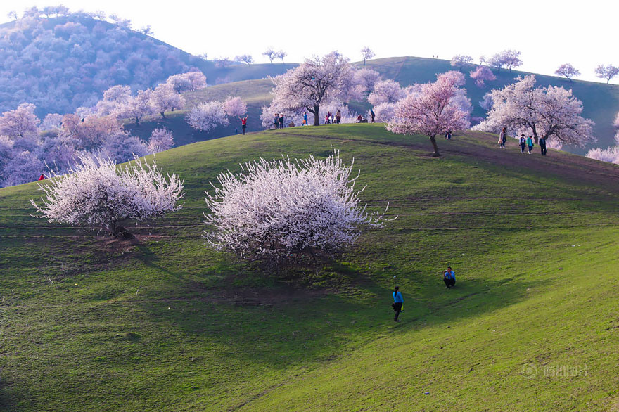 blooming-apricot-valley-yili-china (4)