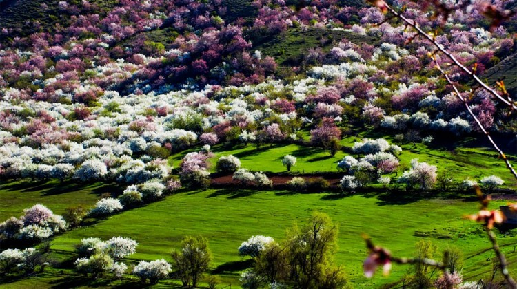 blooming-apricot-valley-yili-china