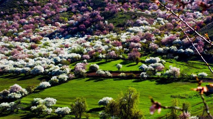 blooming-apricot-valley-yili-china