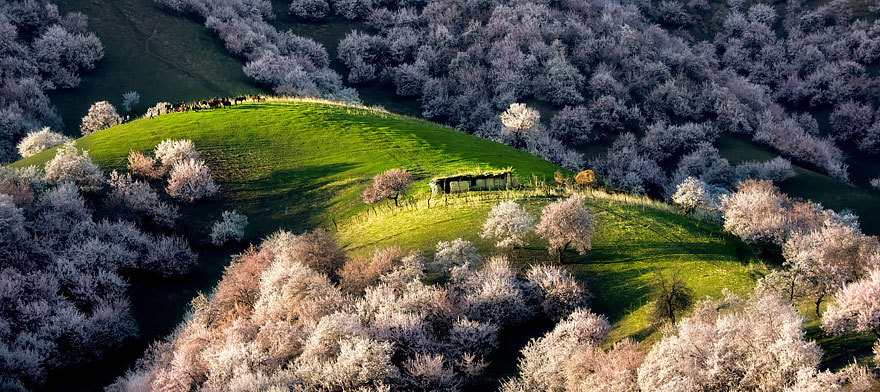 blooming-apricot-valley-yili-china (6)