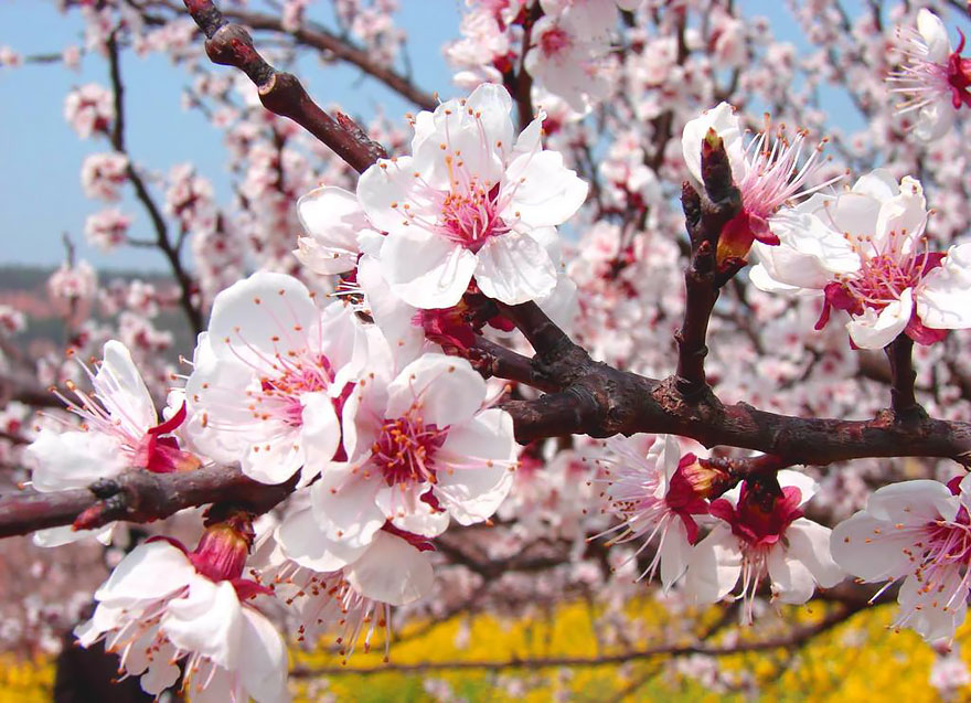 blooming-apricot-valley-yili-china (7)