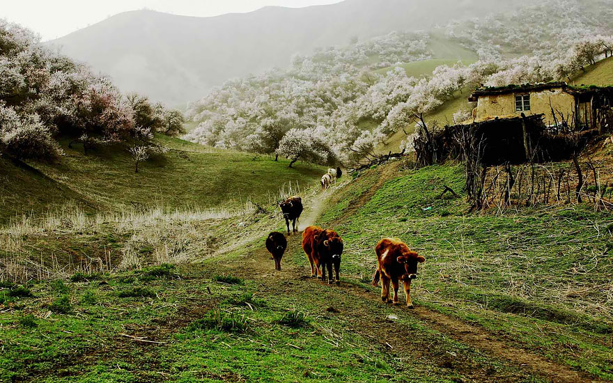 blooming-apricot-valley-yili-china (8)