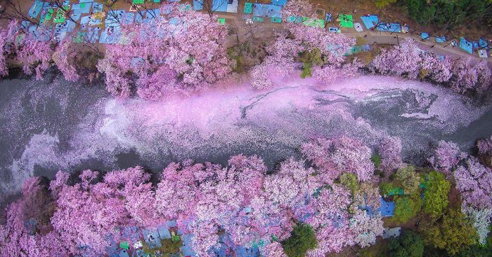 sakura-cherry-blossom-drone-photography-danilo-dungo-japan