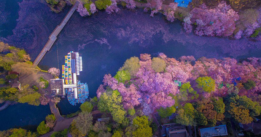 sakura-cherry-blossom-drone-photography-danilo-dungo-japan (4)