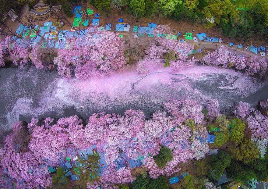 sakura-cherry-blossom-drone-photography-danilo-dungo-japan (5)