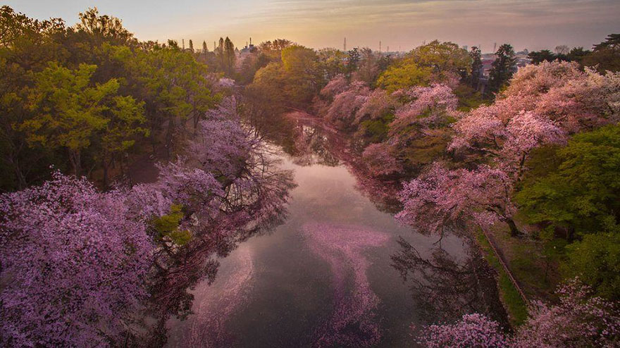 sakura-cherry-blossom-drone-photography-danilo-dungo-japan (7)